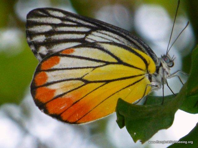 Bangkok Butterflies