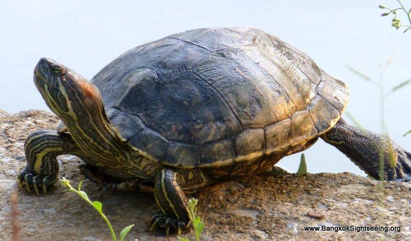 turtle in Lumphini park Bangkok, Thailand
