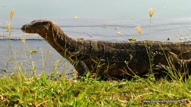 monitor lizard Lumphini Park Bangkok